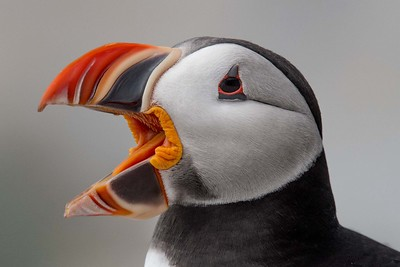 #607 Atlantic Puffin