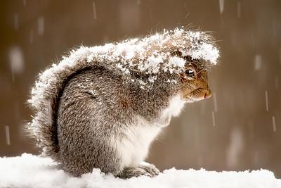 #130 Snowy Squirrel