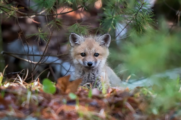 #962 Red Fox Kit