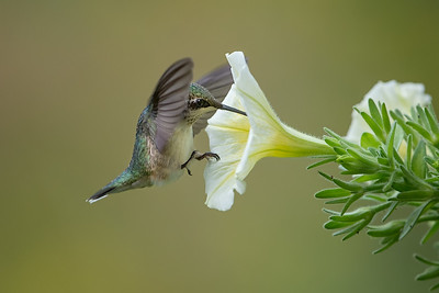 #1075 Ruby-throated Hummingbird