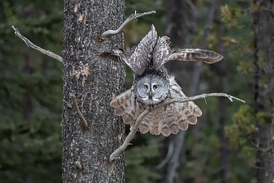 #1151 Great Gray Owl
