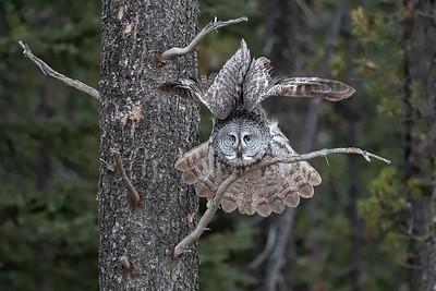 #1151 Great Gray Owl