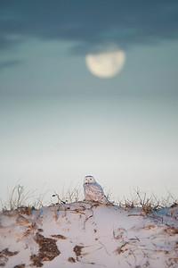 #1090 Snowy Owl Under the Moon