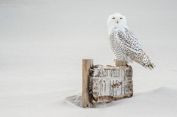 #417 Snowy Owl 9