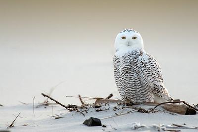 #401 Snowy Owl II
