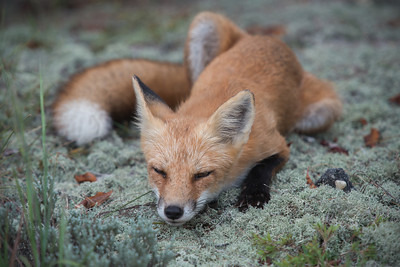 "#286 ""Napping Fox"", Island Beach State Park, Seaside Park, NJ."