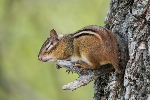#633 Sleeping Chipmunk