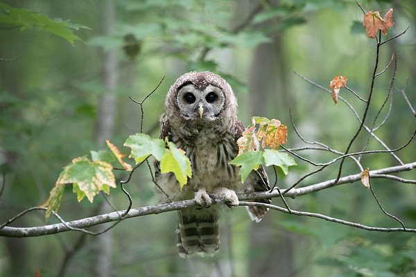 #977 Barred Owlet