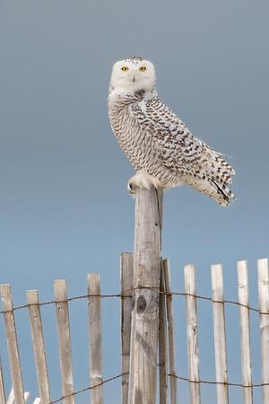#947 Snowy Owl