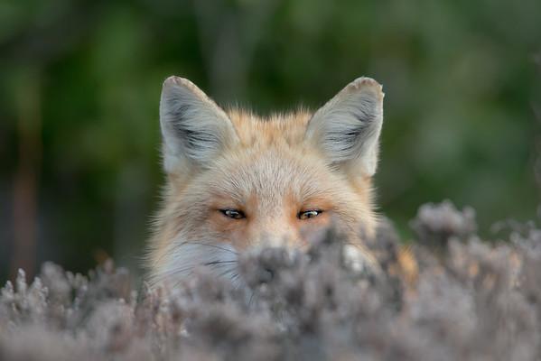 #514 Red Fox 4399
