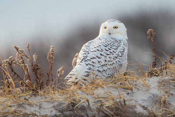 #503 Snowy Owl 3310