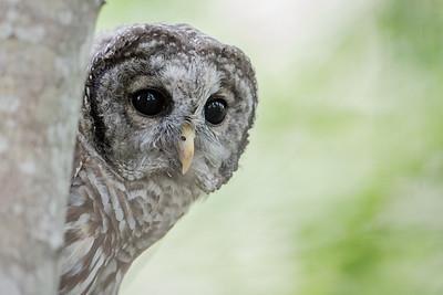 #653 Barred Owl