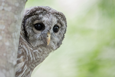 #653 Barred Owl