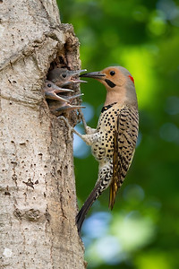 #1221 Northern Flicker and Chicks