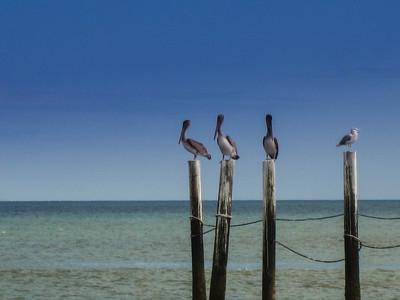 Pelicans © Rachel Rubin 2012