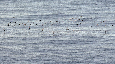 Wedge-tailed Shearwater  (Canada)