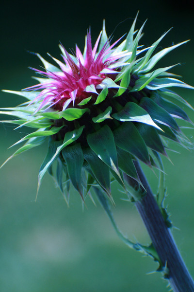 Green Thistle, 2009<br /> Digital Photography