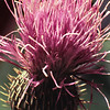 Just a Thistle, 2008<br /> Digital Photography