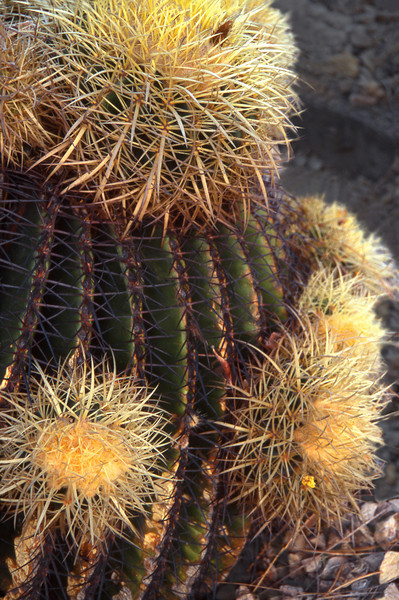 Common Cactus, 1998<br /> Film Photography