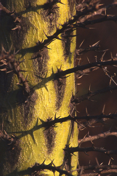 Thorny Tree, 2002<br /> Film Photography