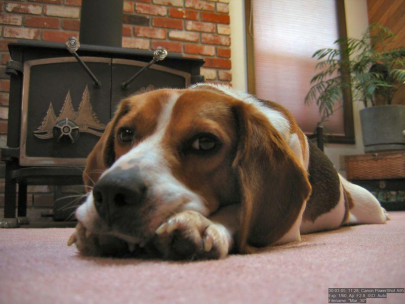 Tucker relaxing on the living room carpet.