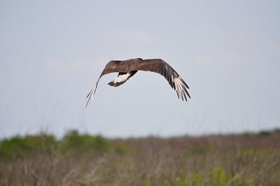 Mexican Eagle, Texas USA