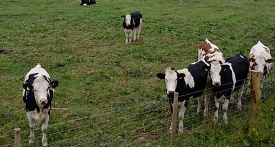 Cows, Preston Under Scar.