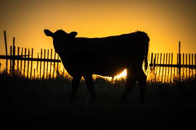Calf Sunset