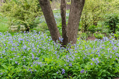 Bluebell Convergence