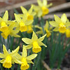2006 Feb 18: Daffodils in the Ice