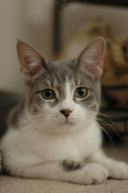 2006 Feb 10: Tiki - one of my friend's kitties