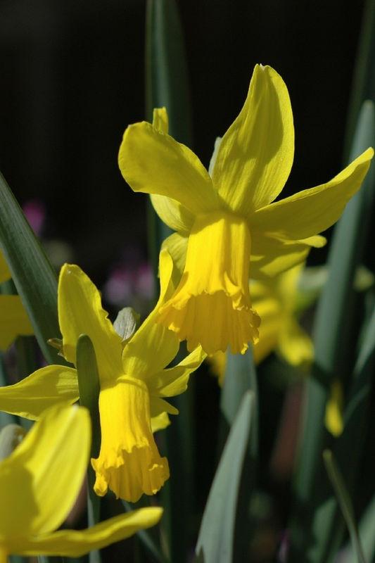 2006 Feb 26: Daffodils