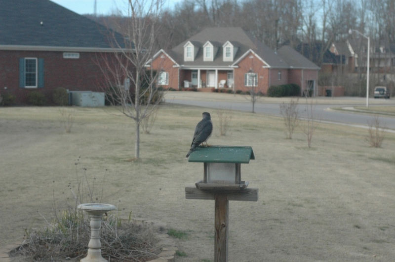 2006 Feb 05: Our hawk friend