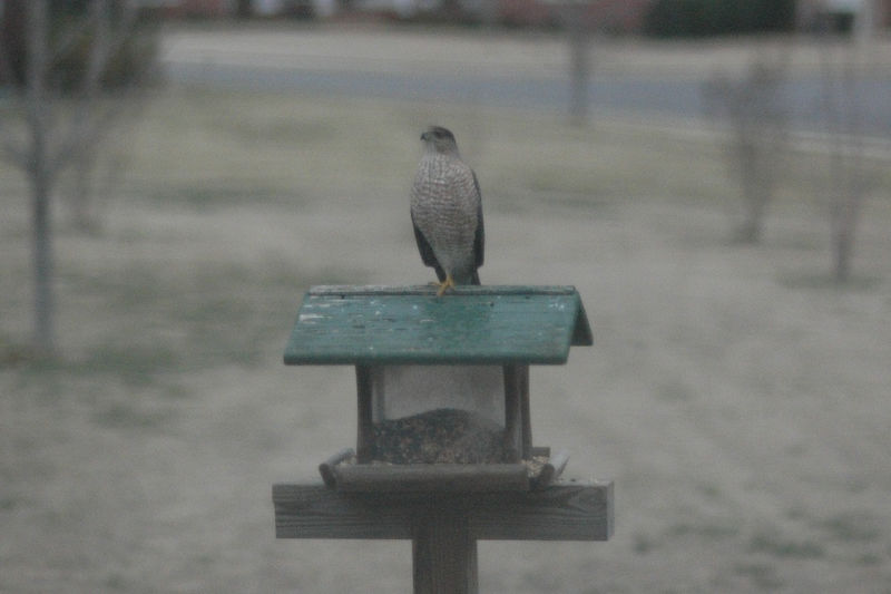 2006 Feb 25:  Our visitor - the hawk.