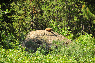 Rockchuck sunning himself on a rock along the river north of Ashton, Idaho. 7.12