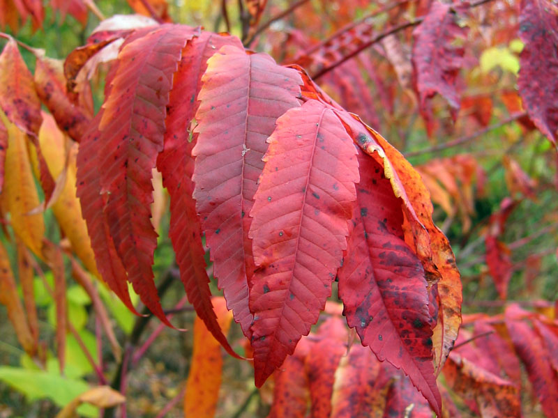 Sumac leaves in October.