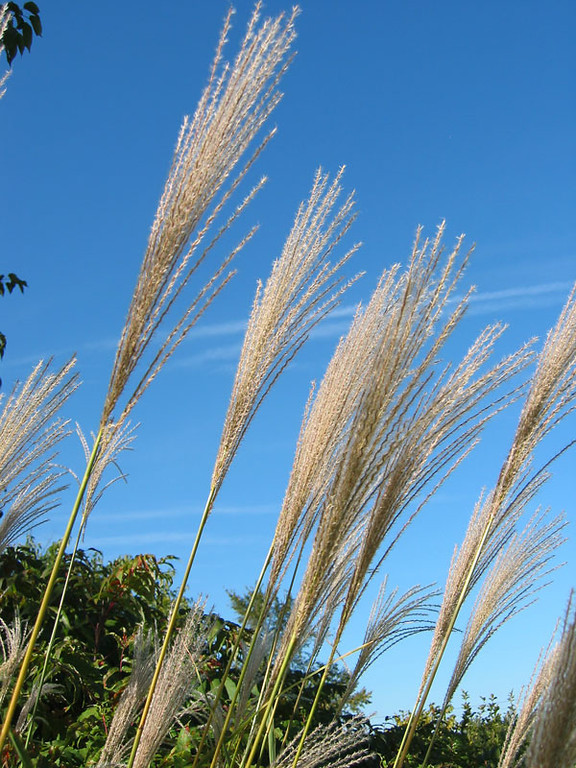 Plumes from Zebra grass and contrails in the blue sky.