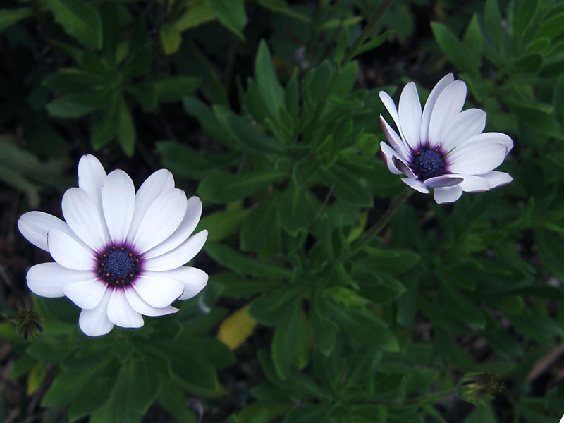Osteospermum.<br /> I remember that when I shot this photo it was very cold and rainy.<br /> There was going to be a hard freeze that night<br /> and I wanted to get one last photograph of these flowers.