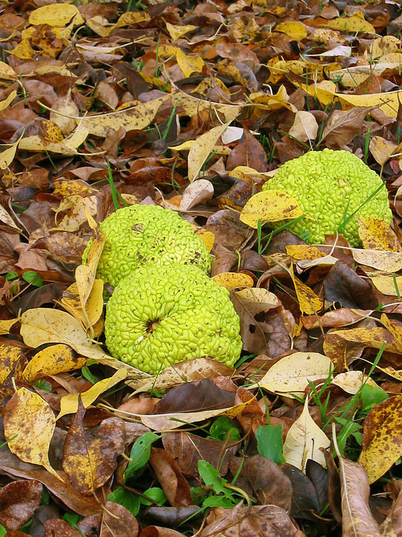Osage Orange...<br /> the fruit of the osage orange lying amid the fallen leaves of the tree.<br /> In late fall, the tree imparts an odd medicinal-like smell to the area and<br /> the grapefruit size fruit hit the ground with a thud...<br /> making one cautious about standing under the spreading branches for very long.<br /> The deer sometimes lay under this tree in the winter;<br /> their dark shapes in sharp contrast to the snow covered ground.