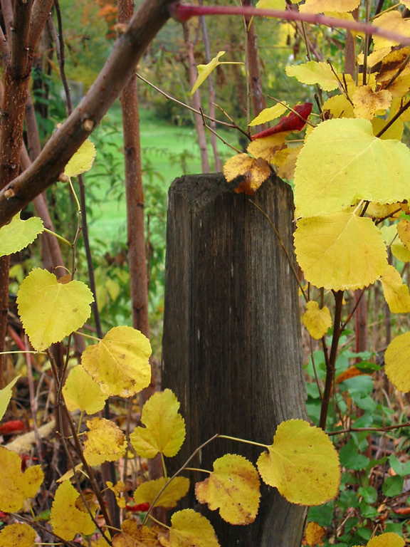 An old fence post and aspen leaves on a cool and rainy October day.