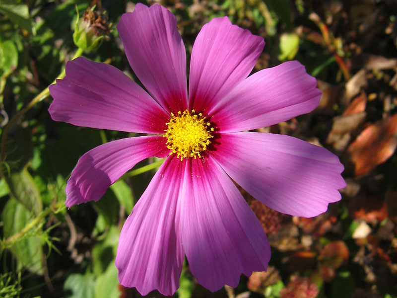 Cosmos... in dappled shade.