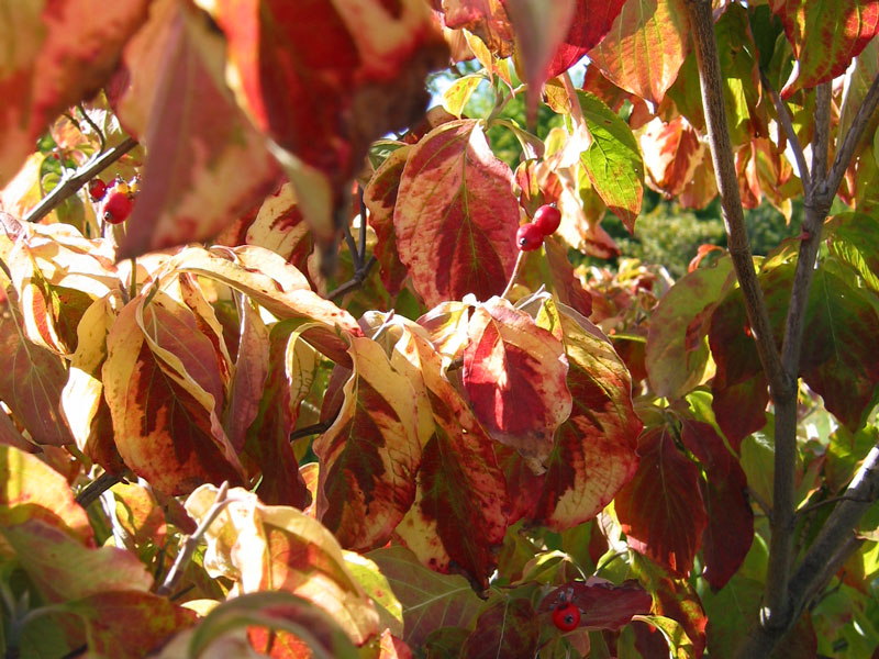 The leaves of the variegated dogwood tree.<br /> When these turn in the fall, they appear to be splashed with red paint.