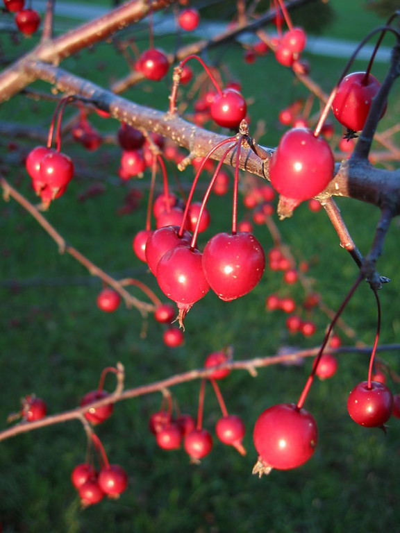 The last rays of the setting sun illuminating the crab apples on the 23rd day of October.<br /> The crab apples were shiny and the quality of the light made them glow...<br /> like small Christmas ornaments.