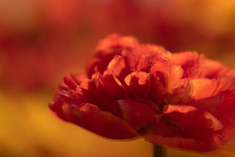Shimmering Tulip