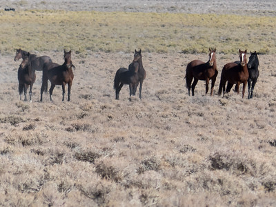 Wild Horses north of Ely, NV