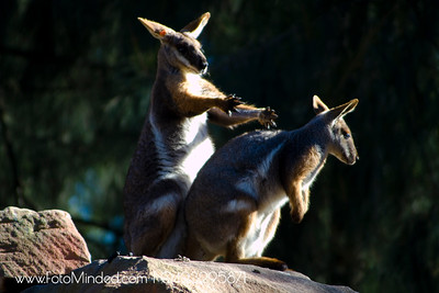 To be honest, it was an erotic moment being watched by all ages at that time @ Australian Reptile Park. This picture was far more decent than it really was :P  Kangaroos/wallabies have a unique way of making love which I myself found out at that time in real.