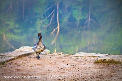 Duck walk or Cat walk ?  A casual shot when I visited Lake Parramatta one foggy morning