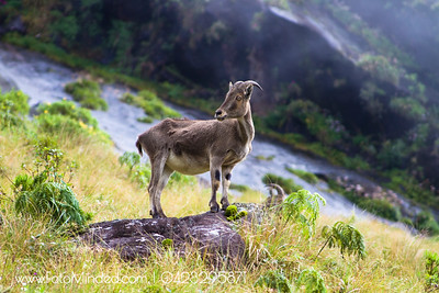 Although this goat looks wild (by its name - Wild Goat), they are very shy in nature. Hence they live away from human sight. Normally at hilly area. Shot at Eravikulam National Park, Munnar, India