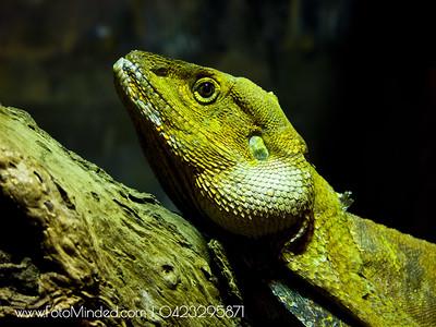 Iguana - Lizard Family