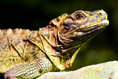 Iguana - Lizard Family What a confident look